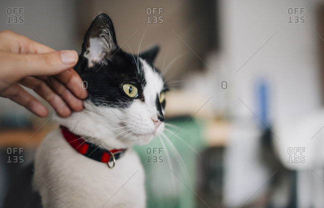 Woman's hand petting a black and white cat at home