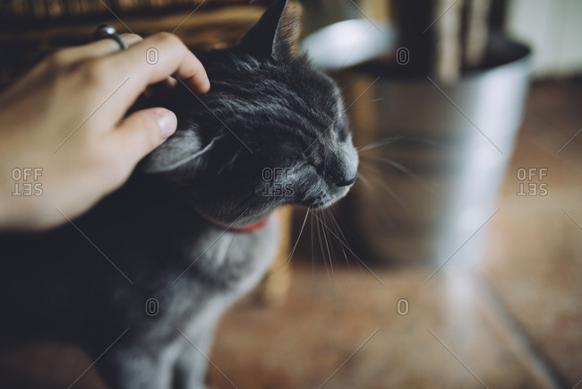 Woman's hand petting a Russian Blue cat at home