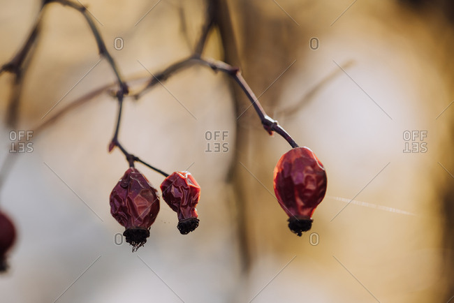 Shriveled red berries on a tree in winter