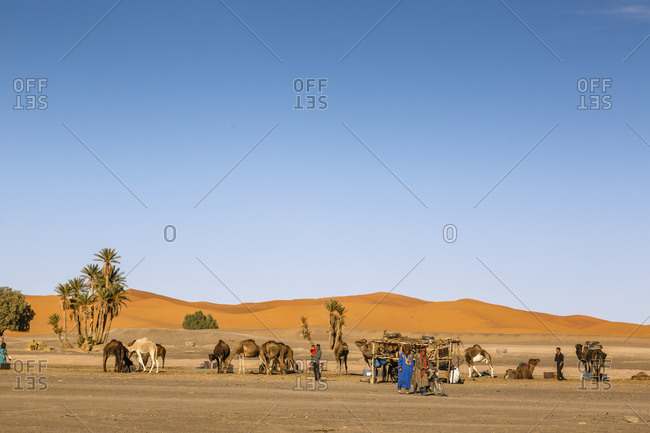 Merzouga, Morocco - November 24, 2016: Camels at the Erg Chebbi sand dunes, Sahara Desert