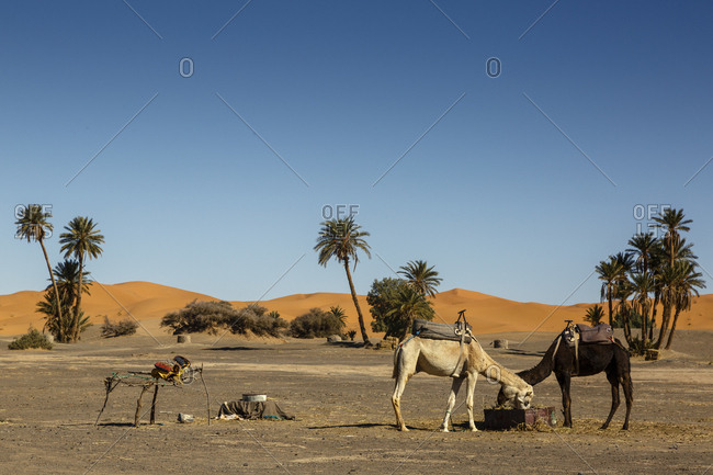 Camels at the Erg Chebbi sand dunes, Sahara Desert, Merzouga, Morocco.