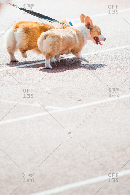 Walking with crowd of welsh corgi Pembroke dogs, in Guangzhou, China.