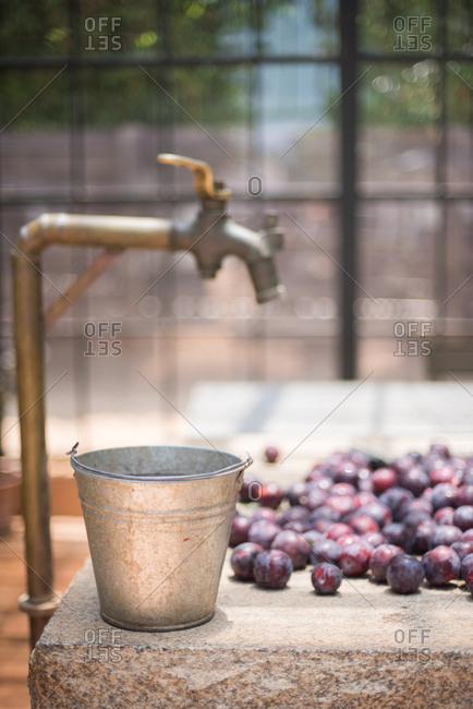 Plums by a water spigot and bucket in a greenhouse