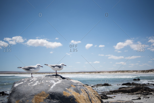 Seagulls standing on a rock on the coast of Paternoster, Western Cape, South Africa
