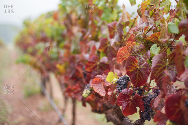 Grapevines in the wine lands in Hermanus in Western Cape, South Africa