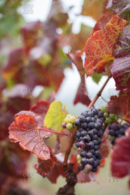 Close up of grapes on a vine in the wine lands in Hermanus in Western Cape, South Africa