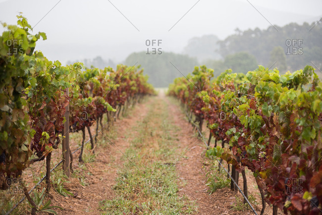 Rows of grapevines in the wine lands in Hermanus in Western Cape, South Africa
