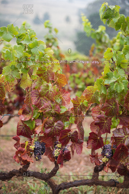 Grapes growing on grapevines in the wine lands in Hermanus in Western Cape, South Africa