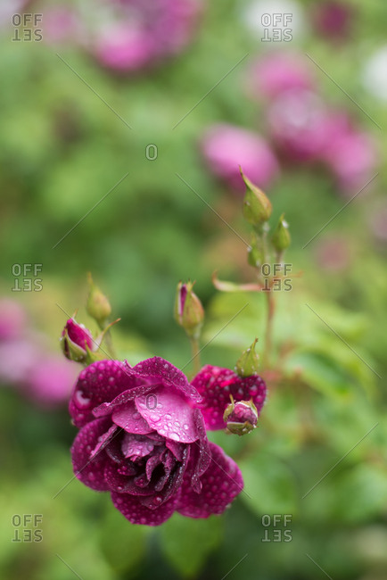 Close up of purple rose with water droplets