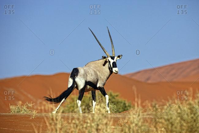 Namibia- Gemsbok in typical desert habitat