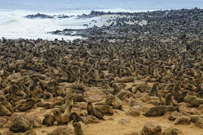 Namibia- Swakopmund- Namib desert- colony of Cape Fur Seal by the sea