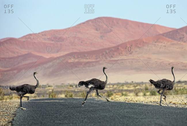 Namibia- Etosha National Park- three wild male ostrichs crossing a road