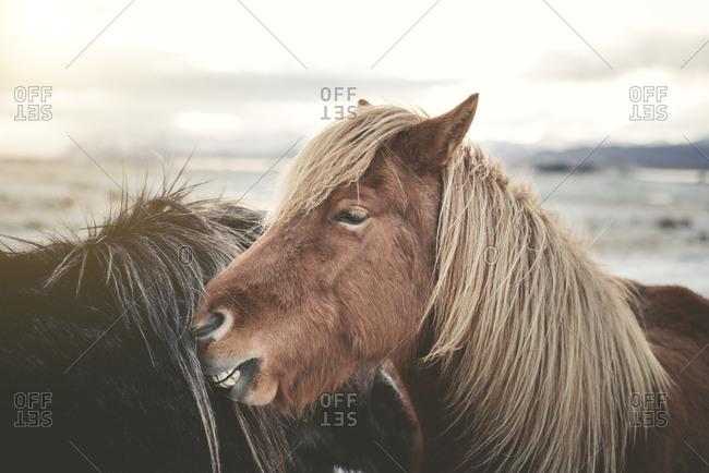 Iceland- two Icelandic horses