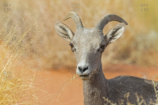 USA- Nevada- Valley of Fire State Park- portrait of a female bighorn sheep