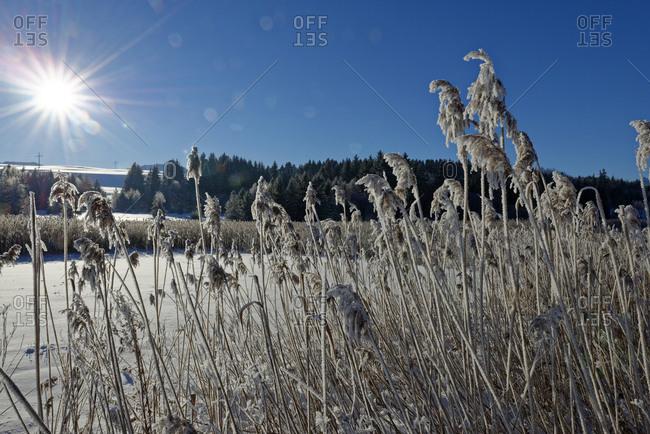 Germany- Bavaria- Illasberg- shore grass at Forggensee in winter