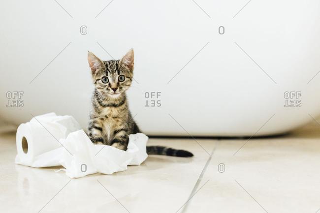 Eight week old tortoiseshell kitten playing with toilet roll