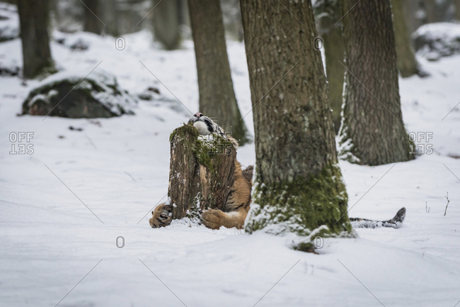 Young Siberian tiger scratching at tree stump in snow