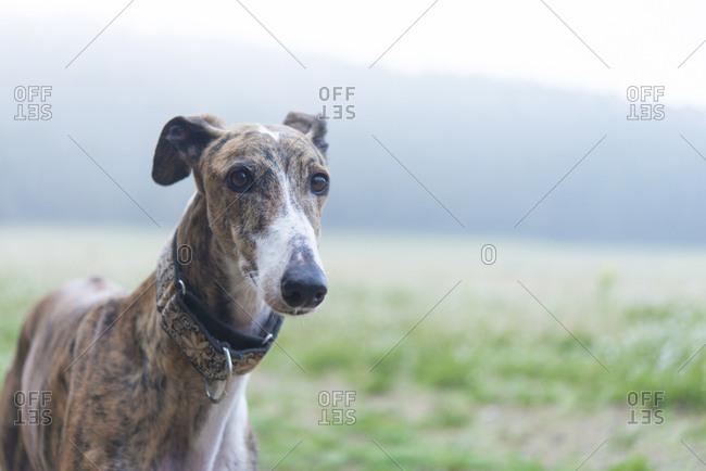 Greyhound on a meadow