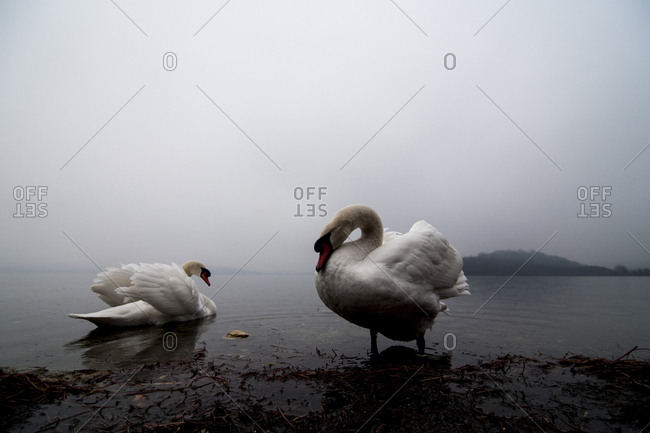Two swans by foggy lake