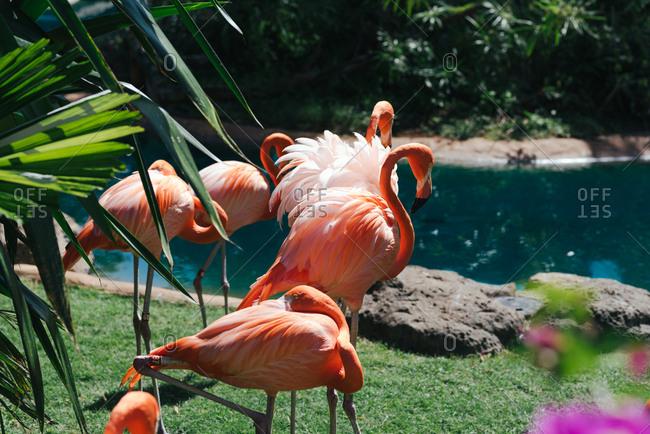 Flamingos in lush setting