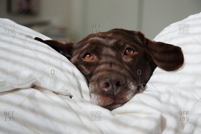 Chocolate lab lying on pillows