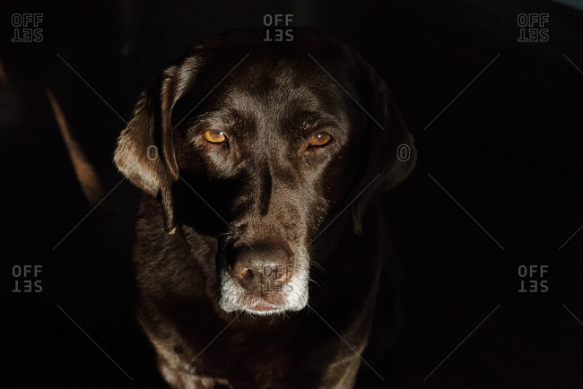 Chocolate lab in shadows