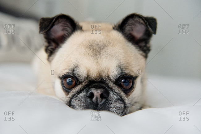 Pug resting on a bed