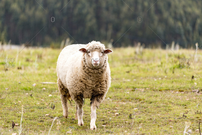 Sheep walking alone in field