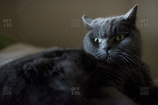 Close up of a gray cat looking away