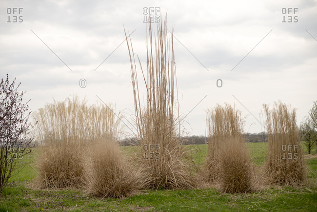 Tall dead grass in a field