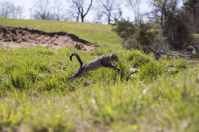 Cat leaping through field