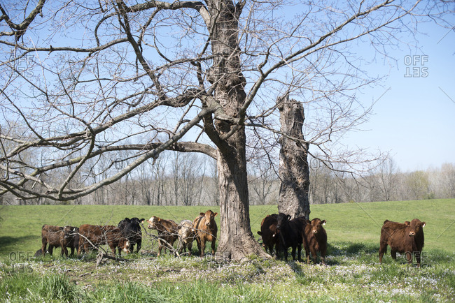 Cows grazing by a tree in a field