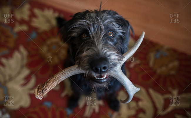 Dog holding deer antler in his mouth