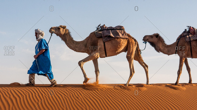 Sahara Desert, Morocco - May 13, 2010: Berber man leading camels over sand dunes