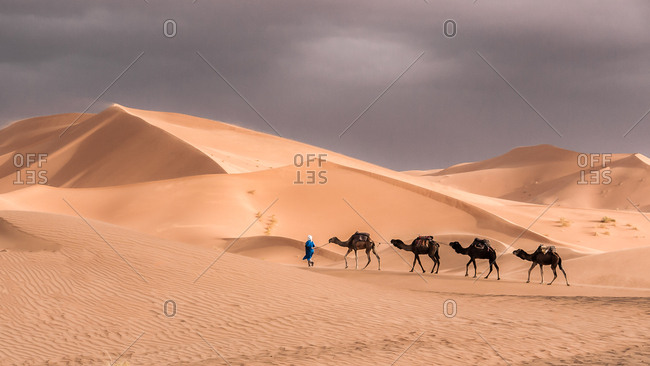 Berber man leading camels between a vast expanse of sand dunes in the Sahara Desert