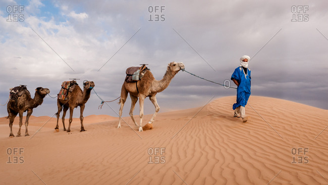 Sahara Desert, Morocco - May 14, 2010: Berber man leading camels over ripple sand dunes in the desert