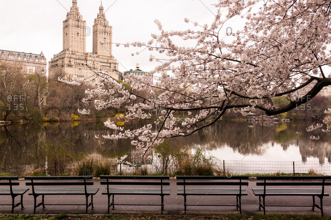Empty benches beneath cherry blossoms at Central Park Lake