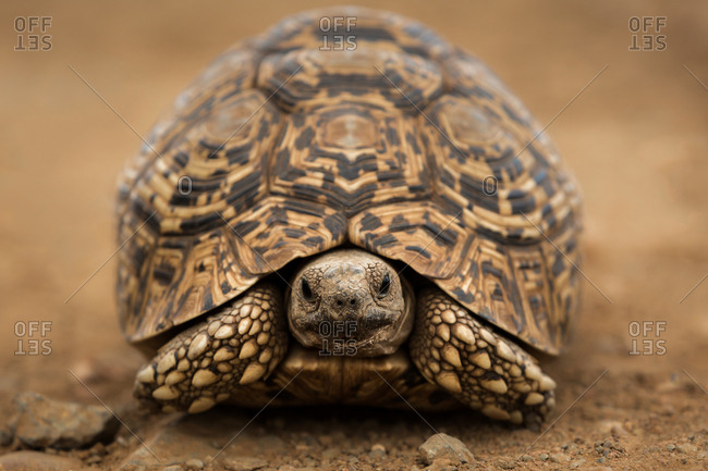 Leopard tortoise on dry, dusty ground in South Africa