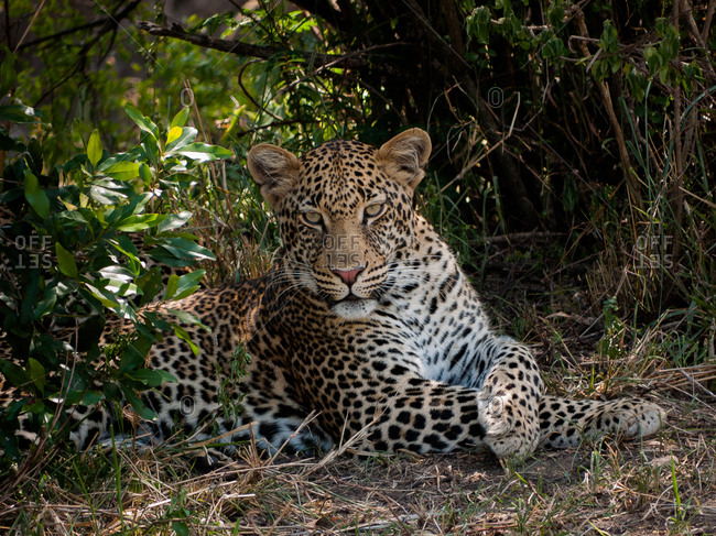 Male leopard lying between bushes in the Serengeti