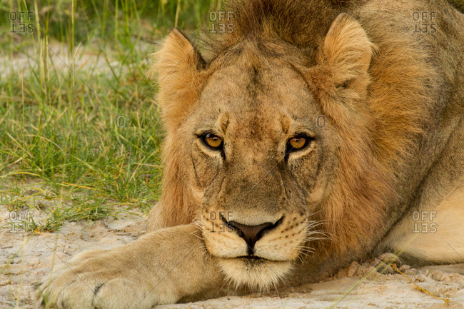 Young male lion lying down, Okavango Delta, Botswana