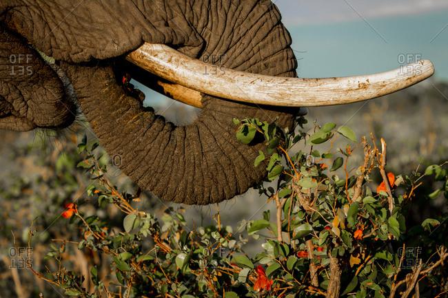 Elephant eats at sunrise, Okavango Delta, Botswana