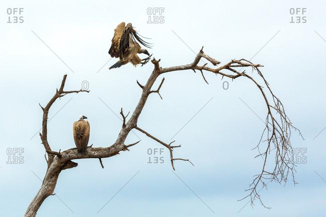 Vultures in a dead tree, Kenya