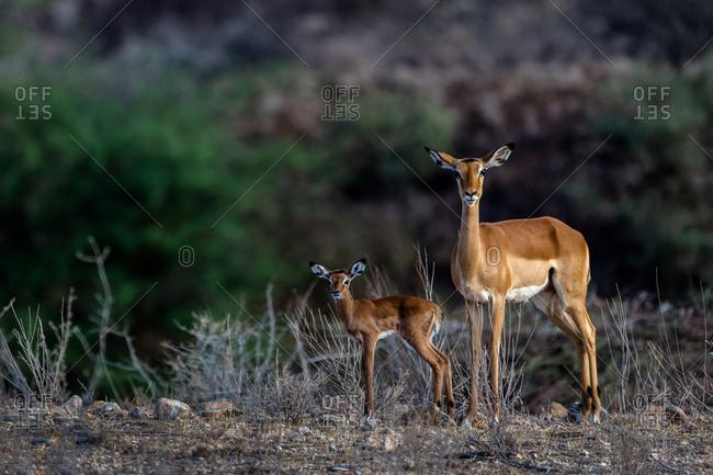 Two impala in the bush