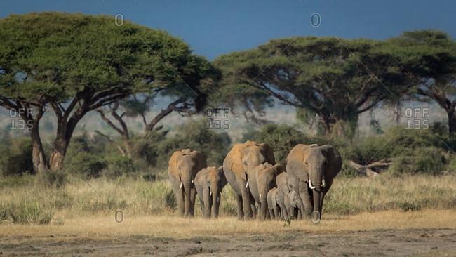Small herd of elephants in Amboseli, Kenya