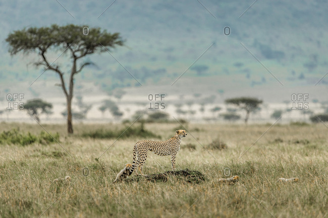 Cheetah standing on termite mound by cubs