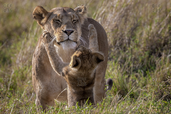 Lion cub attempts to play with mother