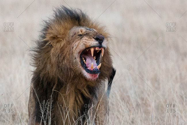 Roaring male lion with blood on face