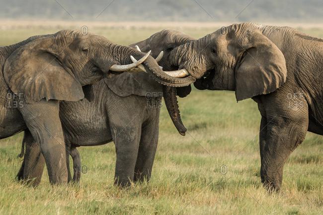Bull elephants greeting each other