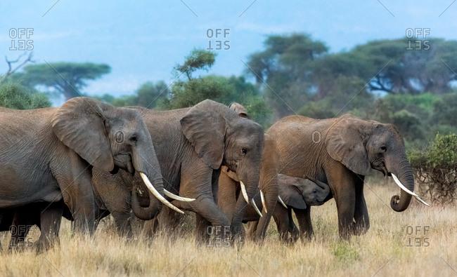Elephants and calf walking together