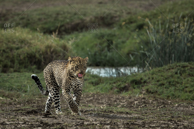 Male leopard walking licking his lips